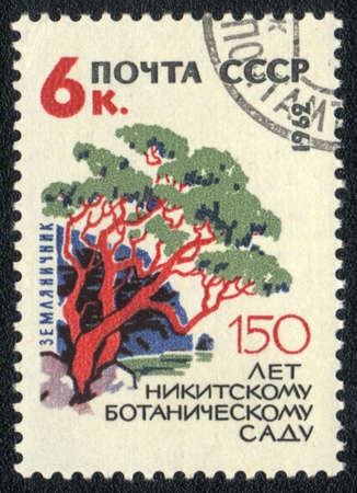 USSR - CIRCA 1962: A stamp printed in USSR  shows  a Arbutus, series  150 anniversary of the Nikitsky Botanical Garden, circa 1962   photo