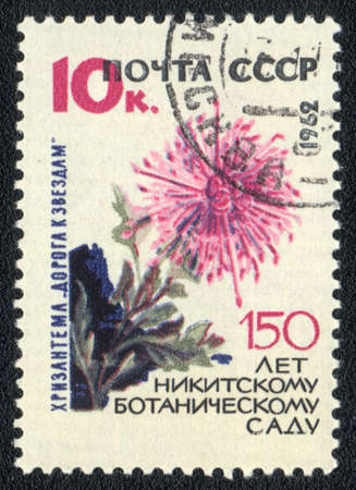 USSR - CIRCA 1962: A stamp printed in USSR  shows  a Chrysanthemum The road to the stars, series  150 anniversary of the Nikitsky Botanical Garden, circa 1962   photo
