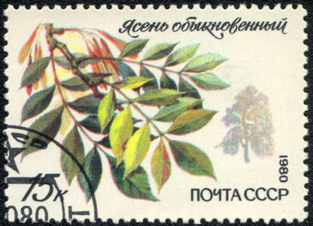 USSR - CIRCA 1980: A stamp printed in USSR  shows  a Fraxinus excelsior, series, circa 1980  Stock Photo - 11139273