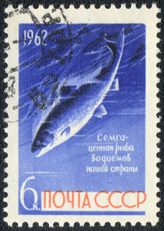 USSR - CIRCA 1962: A stamp printed in USSR  shows  salmon, circa 1962 photo