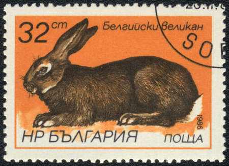 BULGARIA - CIRCA 1986: A Stamp printed in BULGARIA shows Flemish Giant - Flanders,  Rabbits breeds   series, circa 1986  photo