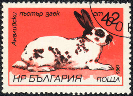 BULGARIA - CIRCA 1986: A Stamp printed in BULGARIA shows English spotted rabbit,   Rabbits breeds   series, circa 1986  photo
