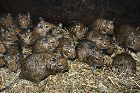A large number of rats in the barn