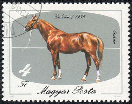 magyar: MAGYAR- CIRCA 1985: A stamp printed in MAGYAR  shows  a Chesnut Gidran (Equus caballus) with white socks. Gidran I 1935, horses series  , circa 1985