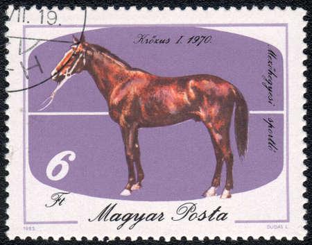 magyar: MAGYAR- CIRCA 1985: A stamp printed in MAGYAR  shows  a Brown Krozus (Equus caballus) standing on a purple background. Krozus I 1970, horses series, circa 1985