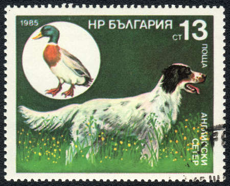 BULGARIA - CIRCA 1985: A stamp printed in BULGARIA shows  a English Setter and wild mallard,  from series Breeds of hunting dogs, circa 1985 photo