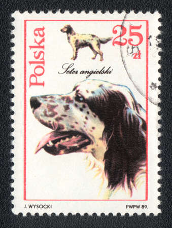 POLAND - CIRCA 1989: A stamp printed in POLAND shows  a English Setter,  from series Breeds of hunting dogs, circa 1989 photo