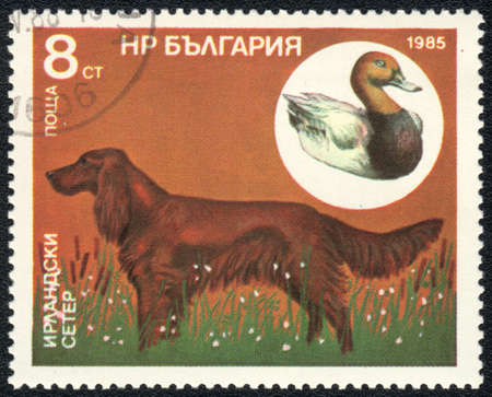 BULGARIA - CIRCA 1985: A stamp printed in BULGARIA shows  a Irish Setter and wild goose,  from series Breeds of hunting dogs, circa 1985 photo