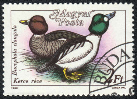 HUNGARY - CIRCA 1988: A stamp printed in HUNGARY  shows a Common Goldeneye (Bucephala clangula), from series Ducks, circa 1988 photo