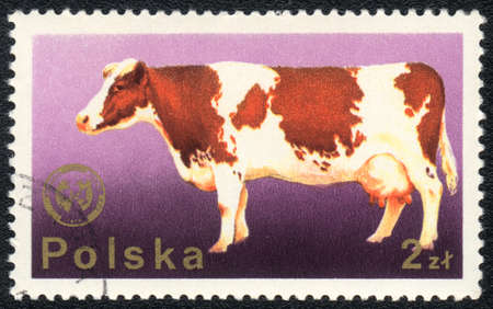 red heifer: POLAND - CIRCA 1980: A stamp printed in POLAND  shows a cow, from series Domestic animals, circa 1980