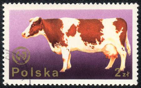 red heifer: POLONIA - CIRCA 1980: Un sello impreso en Polonia muestra una vaca, a partir de animales dom�sticos de la serie, alrededor del a�o 1980