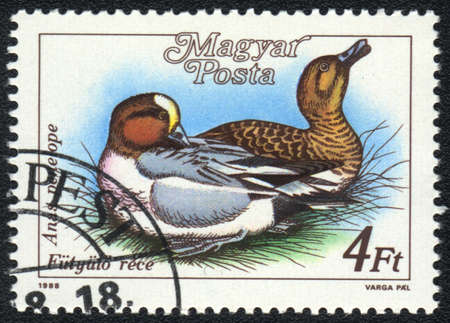 HUNGARY - CIRCA 1988: A stamp printed in HUNGARY  shows a Eurasian Wigeon (Anas penelope), from series Ducks, circa 1988 photo