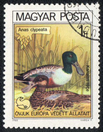 HUNGARY - CIRCA 1980: A stamp printed in HUNGARY  shows a Northern Shoveler (Anas clypeata), from series birds nest, circa 1980 photo