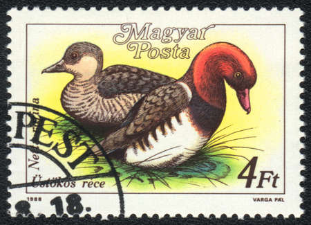 HUNGARY - CIRCA 1988: A stamp printed in HUNGARY  shows a Red-crested Pochard (Netta rufina), from series Ducks, circa 1988 photo