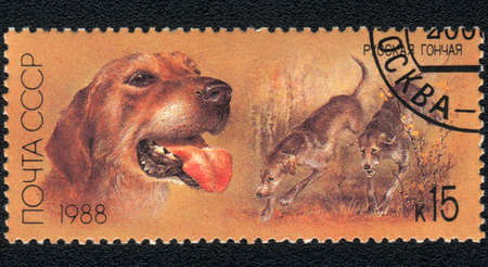 USSR - CIRCA 1988: A stamp printed in USSR  shows a  Russian Scenthound, from series Breeds of hound, circa 1988 photo