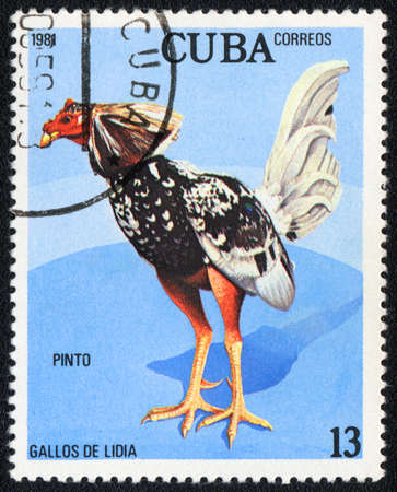 CUBA - CIRCA 1981: A stamp printed in CUBA  shows Game-cock Pinto, from series Fighting cocks, circa 1981
