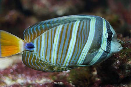 zebrasoma: Zebrasoma