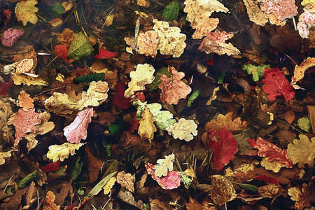 Oak leaves in the autumn water photo