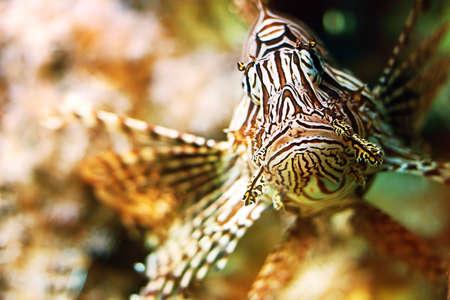 pterois: Red lionfish (Pterois volitans)