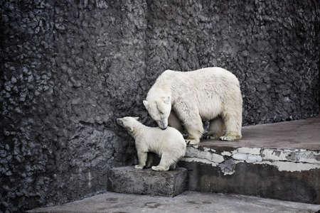 cachorro: Oso polar con un cachorro Foto de archivo