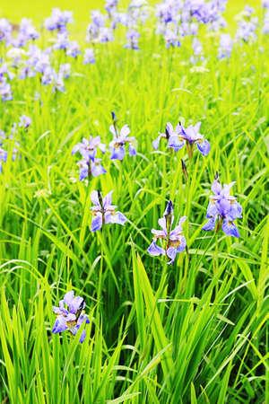 irises: The irises in bloom