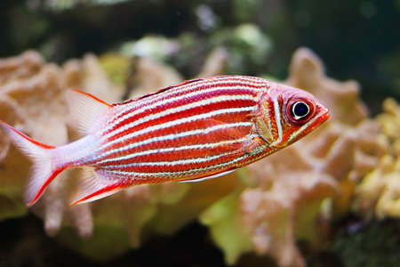 Crowned squirrelfish