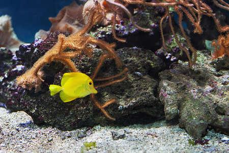 tang: Zebrasoma flavesceas, Yellow tang