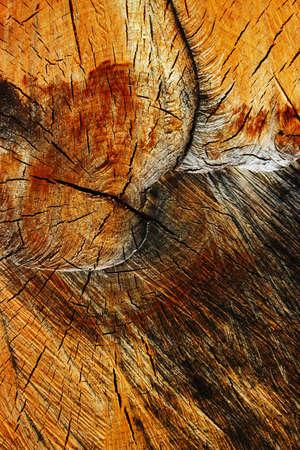 crosscut: Stout trunk of birch