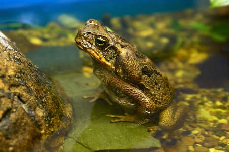animals amphibious: Big toad sitting in a pond