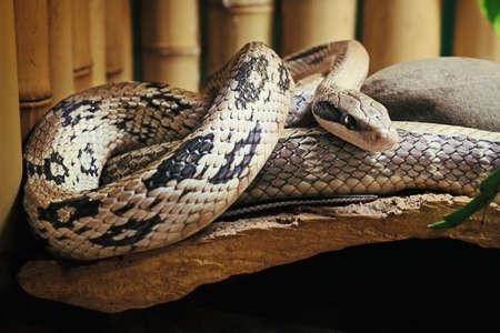 animals amphibious: Snake. Pantherophis bairdi?