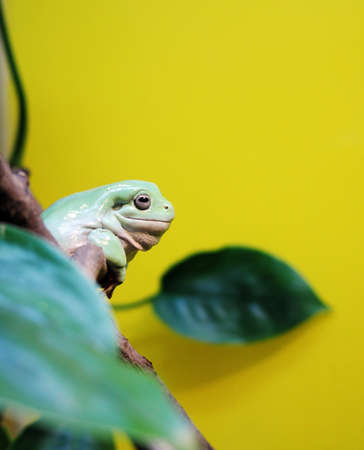 animals amphibious: Australasian treefrog