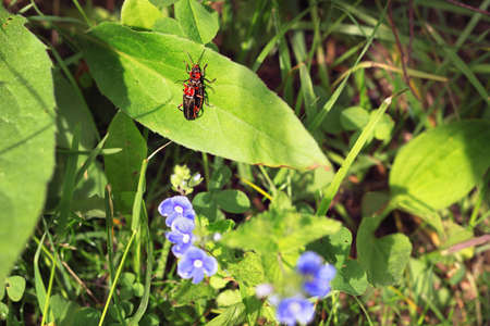 Insects soldier beetles or  leatherwings pairing in the grass Фото со стока