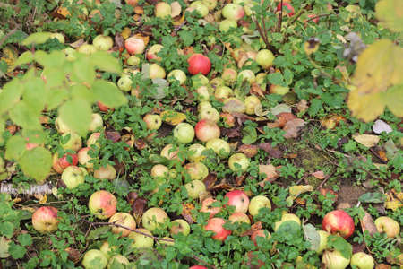 A lot of the ripe apples fell from the tree to earth because of the strong wind