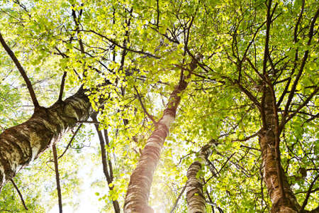 Crowns of birch green trees in bright sunlight