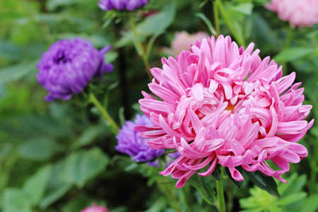 Big pink flower of China aster in the ornamental garden