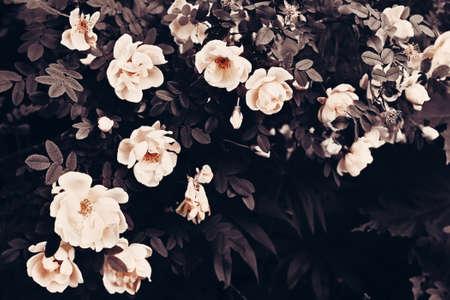 Bush of the white roses. Decorative image