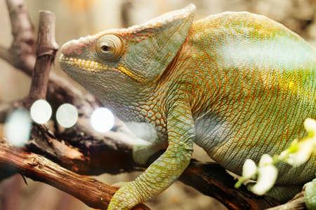Chameleon on the branch closeup 免版税图像