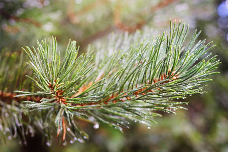 Green branch of pine-tree with water drops after rain in sunlight 免版税图像