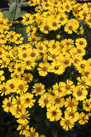 Yellow flowers of Helenium autumnale on flowerbed in the ornamental garden 免版税图像