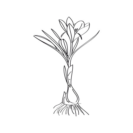 Saffron crocus flower or Botanica crocus vector black and white. Can be used for cards, invitations, banners, posters, print design