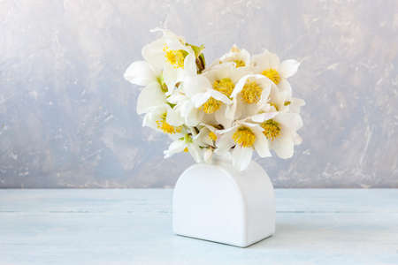 A bouquet of fresh spring hellebore flowers in a white vase. Stock Photo