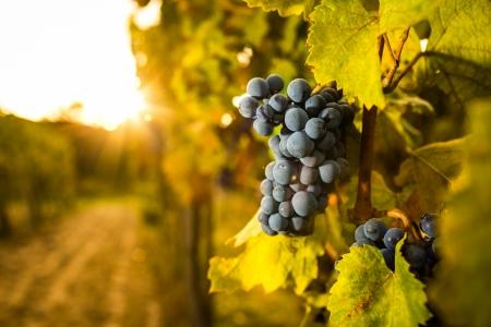 Druiven in de wijngaard Stockfoto