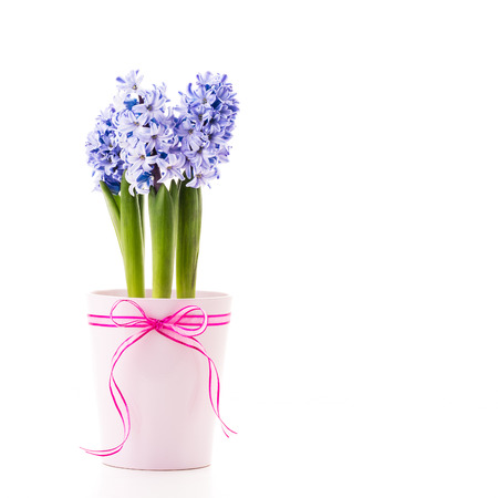 Blue Hyacinth in a pink flower pot with a ribbon. Stock Photo
