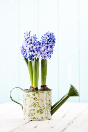 Blue Hyacinth in a painted watering can. Stock Photo