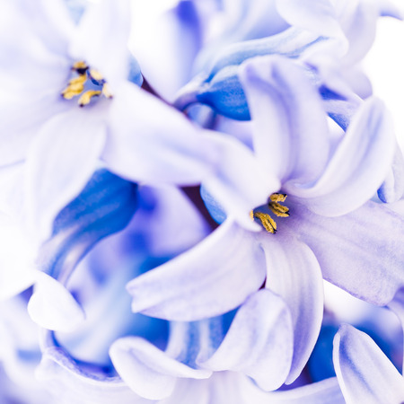 Close up of a blue hyacinth. Shallow depth of field.