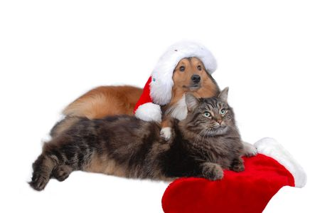 christmas sock: dog and cat friends in christmas time close-up Stock Photo