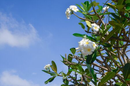 Many white plumeria flowers are blooming with green leaves against blue clear sky background in sunny day 写真素材