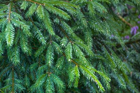 A bright evergreen pine tree green needles branches with rain drops. Fir-tree with dew, conifer, spruce close up, blurred background. Drops after rain on the trees in close-up. 写真素材