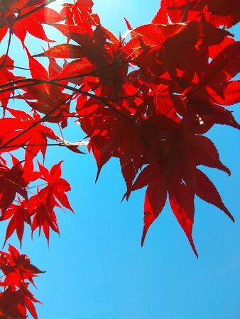 Maple branch tree on sky background in autumn season, maple leaves turn to red, sunlight in season change, Japan