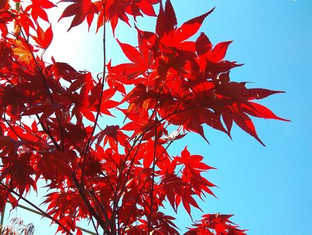 Maple branch tree on sky background in autumn season, maple leaves turn to red, sunlight in season change 写真素材